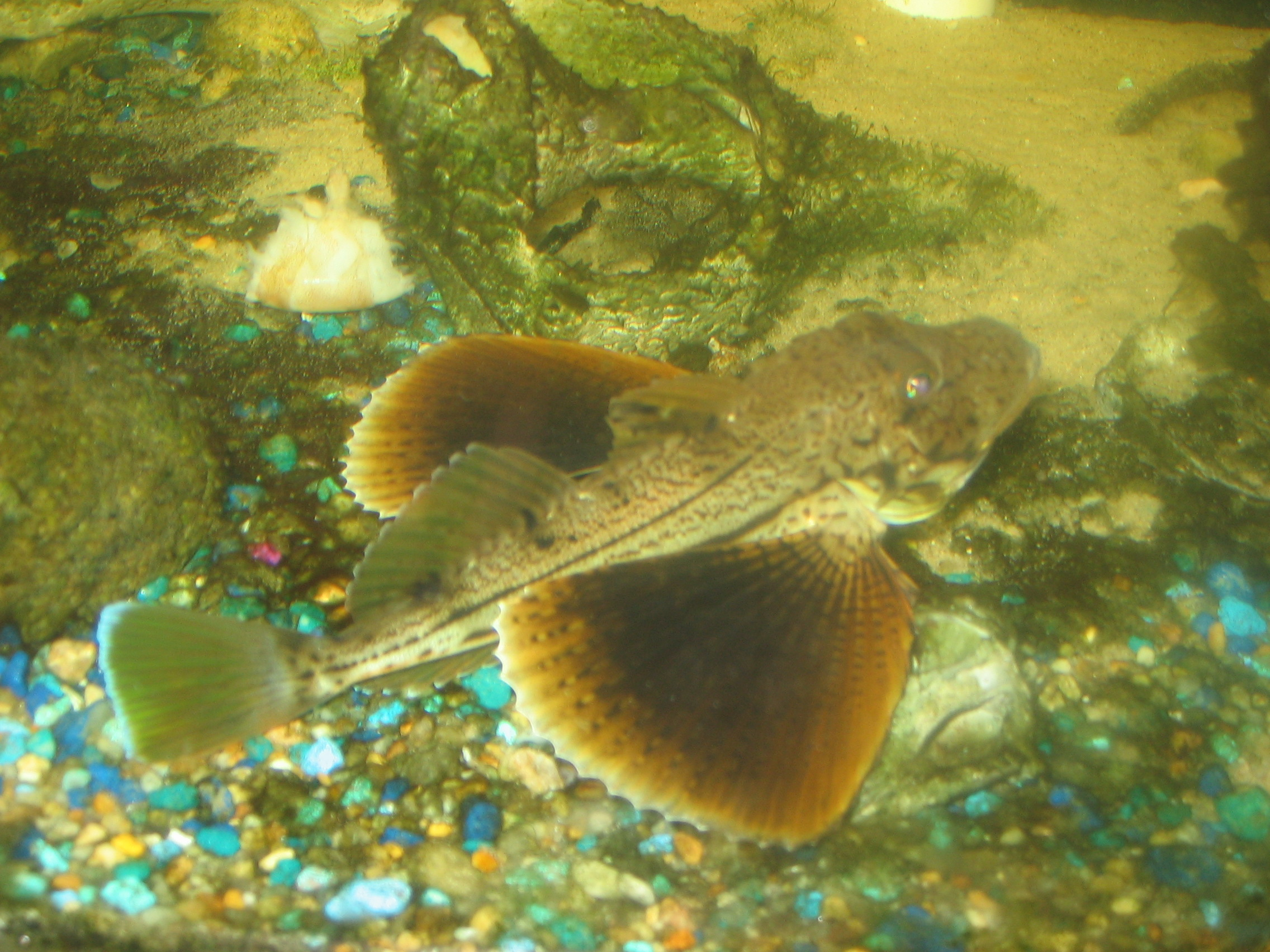 Prionotus evolans